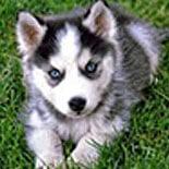 Huskey Puppy