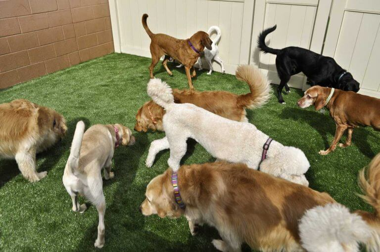 dogs playing at doggy daycare